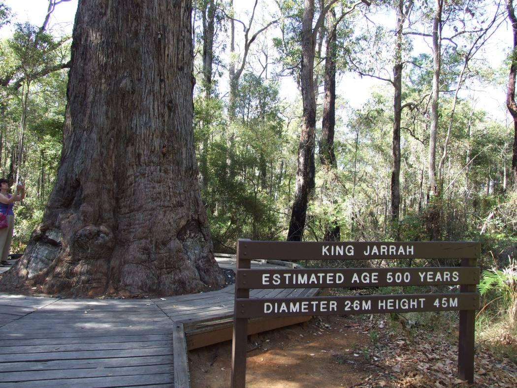 Eucalyptus_marginata_1