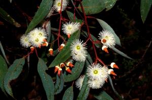 Jarrah_-_Eucalyptus_marginata