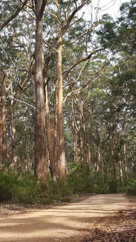 Karri_trees_in_the_Boranup_Forest